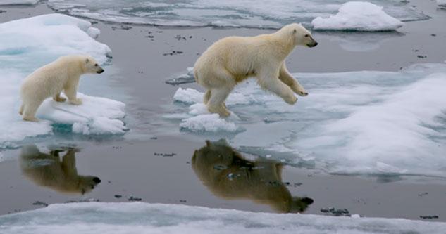 Isbjørne, der springer fra isblok til isblok